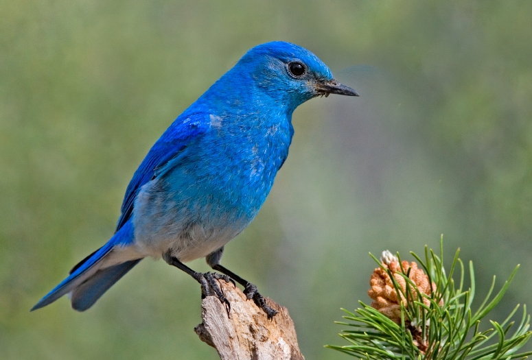 Mountain_Bluebird